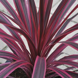 Cordyline Cherry Sensation Shade Garden Plants Landscaping With Rocks Pool Landscaping