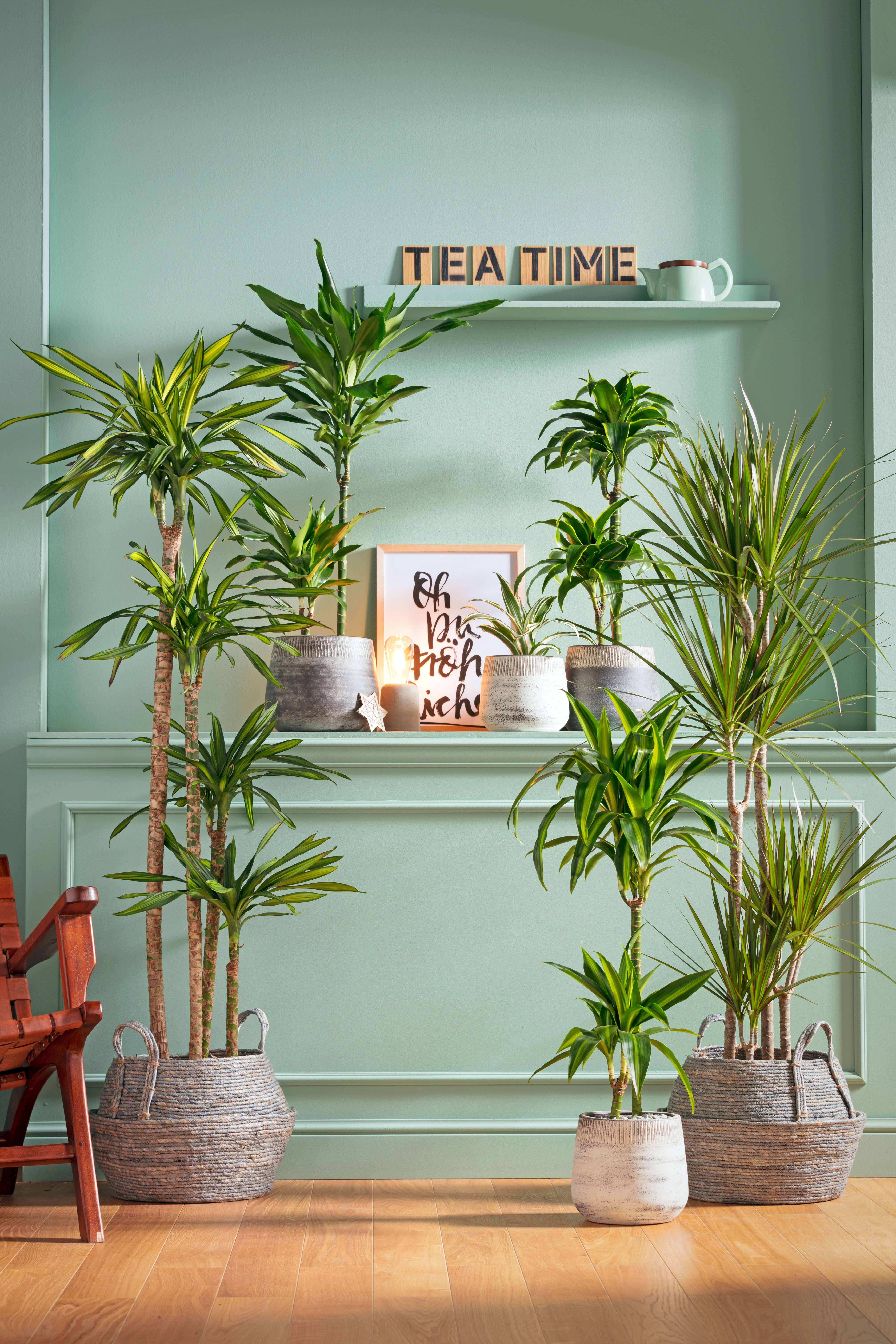 Palmen Und Drachenbaume Zimmerpflanzen Bergpalme Pflanzen