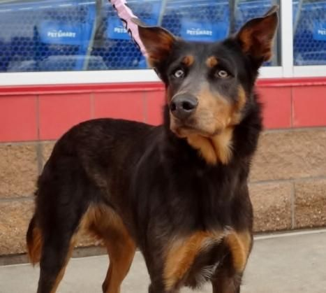 Adopt Zoey On Doberman Doberman Pinscher Dog Adoption