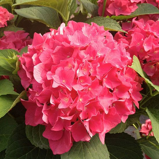 Names of pink flowering shrubs for Pink flowering shrubs