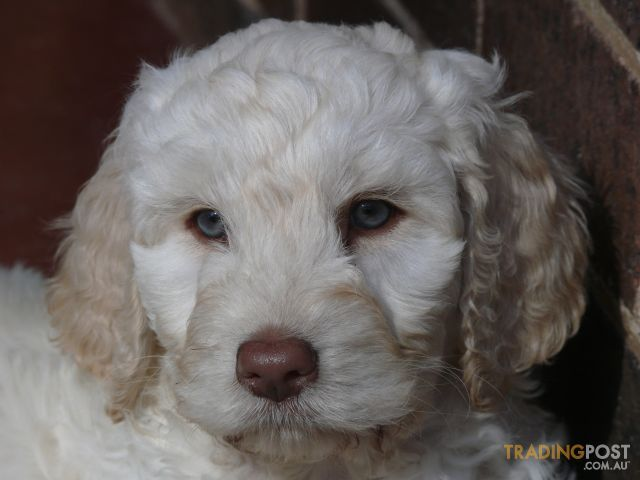 Beautiful Labradoodle Puppies Labradoodles With Images