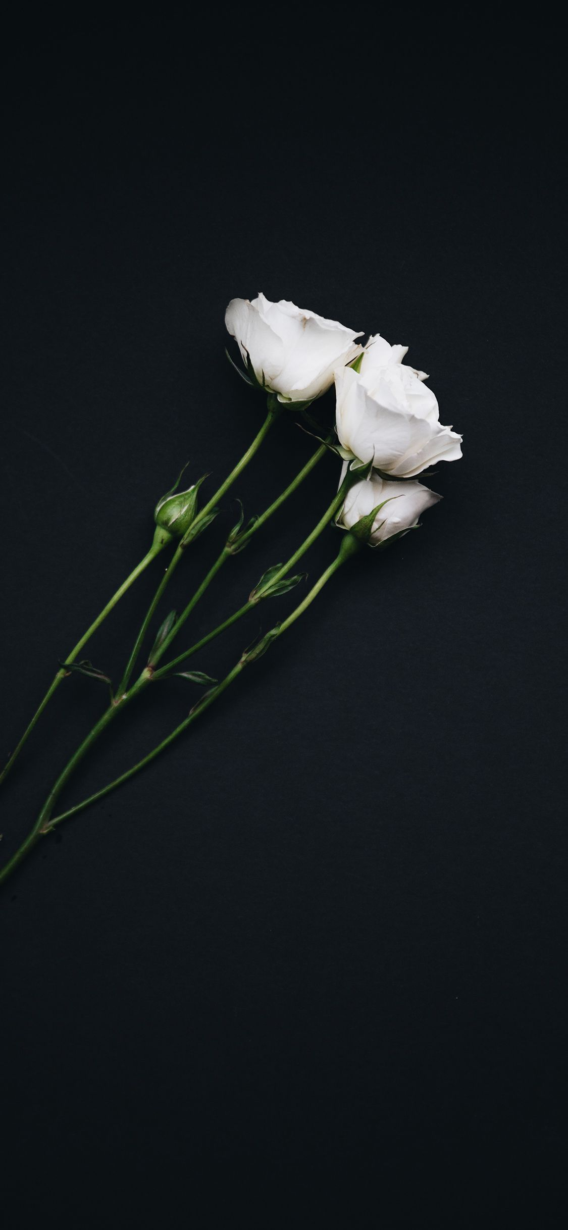 49 Beautiful Rose Iphone Wallpaper Hd Quality In 2020 Iphone Wallpaper Yellow Wallpaper Iphone Roses Black Backgrounds