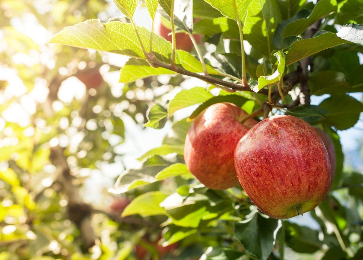 Zone 9 Apple Trees Tips On Growing Apples In Zone 9 Apple Tree From Seed Apple Tree Growing Apple Trees