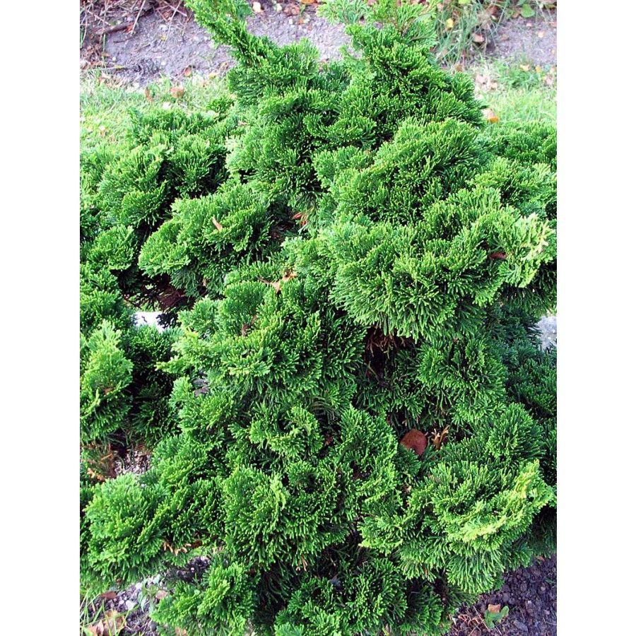 Planteras som solitär eller grupper i rabatter stenpartier