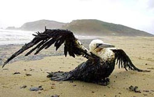 """25 de Mayo 2007: En la caleta """"El infiernillo"""", Bahía de San Vicente, Talcahuano, Chile, se produjo un derrame mas de 350 metros cubicos de petróleo en el mar, consecuencia de una falla en el conducto submarino mediante el cual se transportaba el petróleo, hacia ENAP, empresa que nunca figuró como 100% responsable del hecho."""
