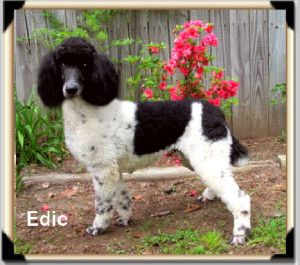 Older Pups Adult And Retired Poodles Available Standard Poodle