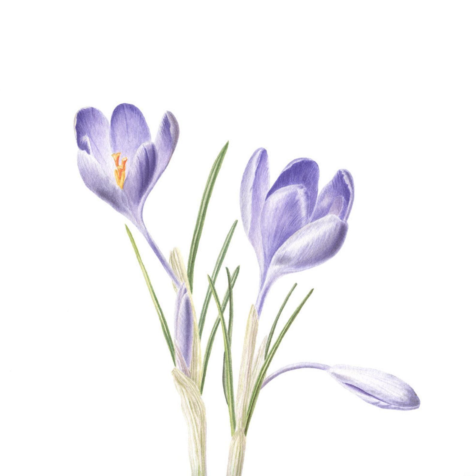 Botanical watercolor Crocus print Botanical painting