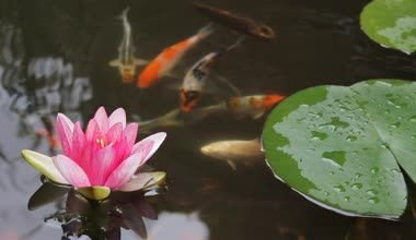 Waterlily Stock Videos, Royalty Free Waterlily Footages ...