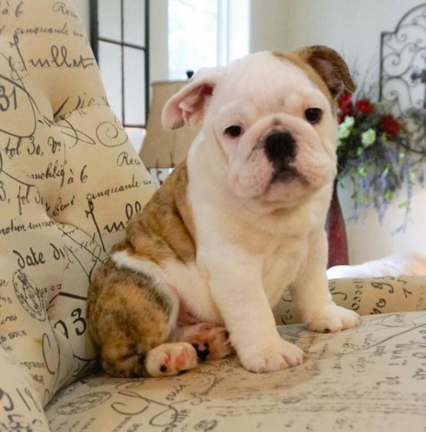 Pin By Tj Bevan On Puppies 2 Dogs Puppies Bulldog Puppies