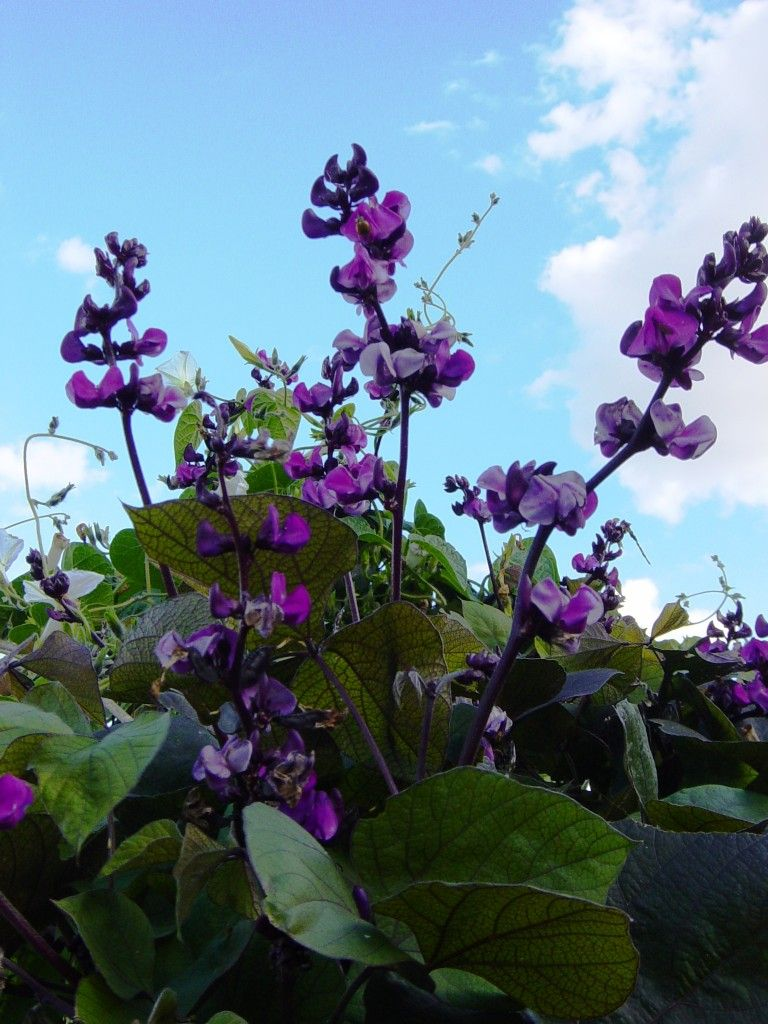 Purple Hyacinth Bean Vine Is A Vigorous Fast Growing Vine