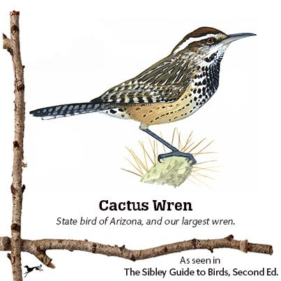 The Cactus Wren is brash, curious, and fun-to-watch