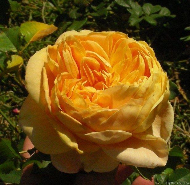 'Golden Zest ™' rose,  anise, apricot or peach, citrus, clove, myrrh, violets fragrance. Explosiones