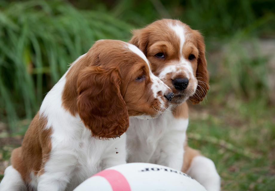 Find Welsh Springer Spaniel Puppies And Breeders In Your Area And Helpful Welsh Welsh Springer Spaniel Welsh Springer Spaniel Puppies Springer Spaniel Puppies