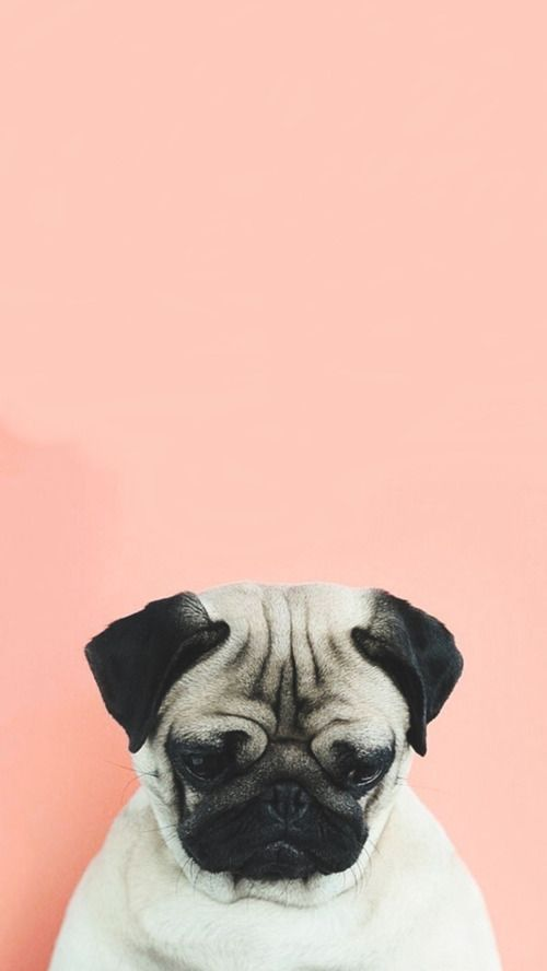 Imagem de dog, pug, and sad iphone back Pinterest