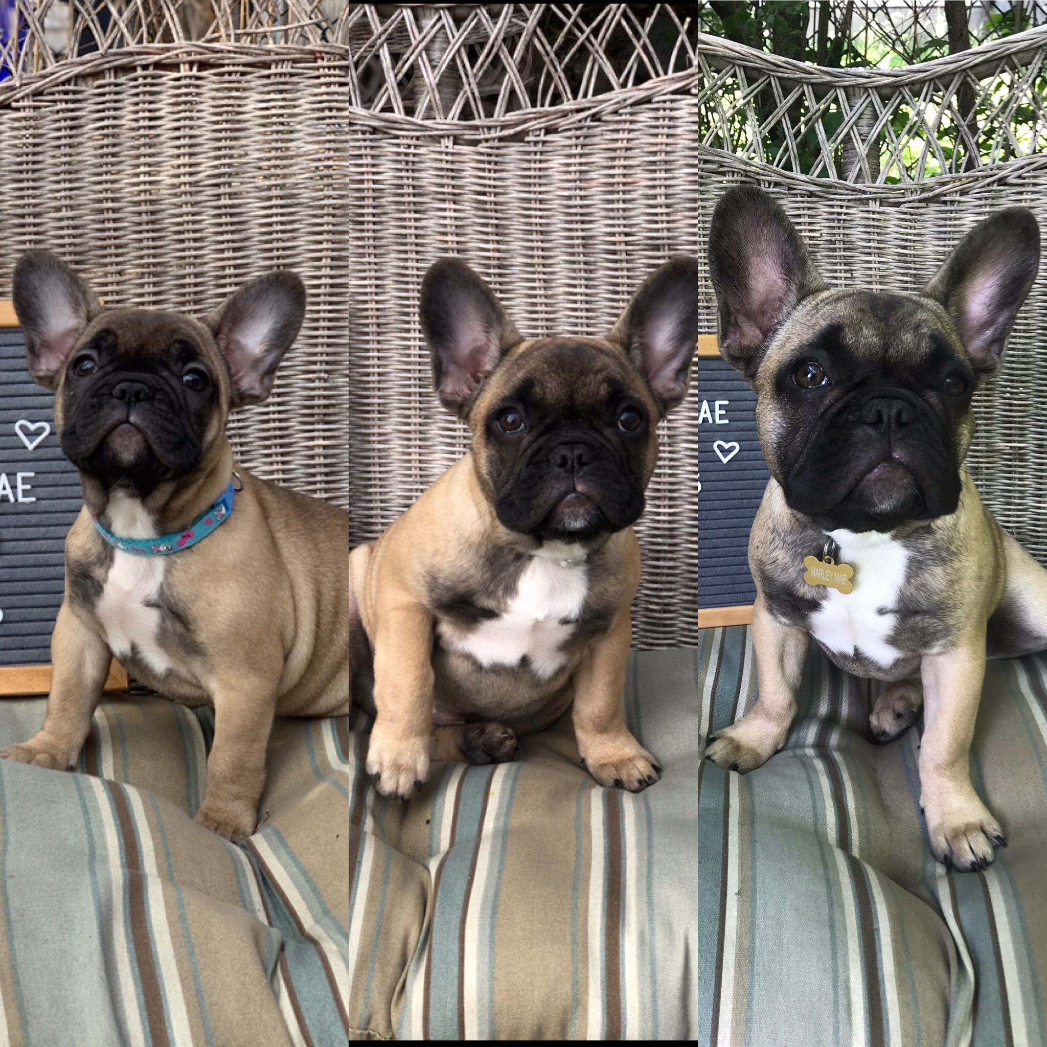 10 Week Progression Of French Bulldog Puppy The First Photo Is
