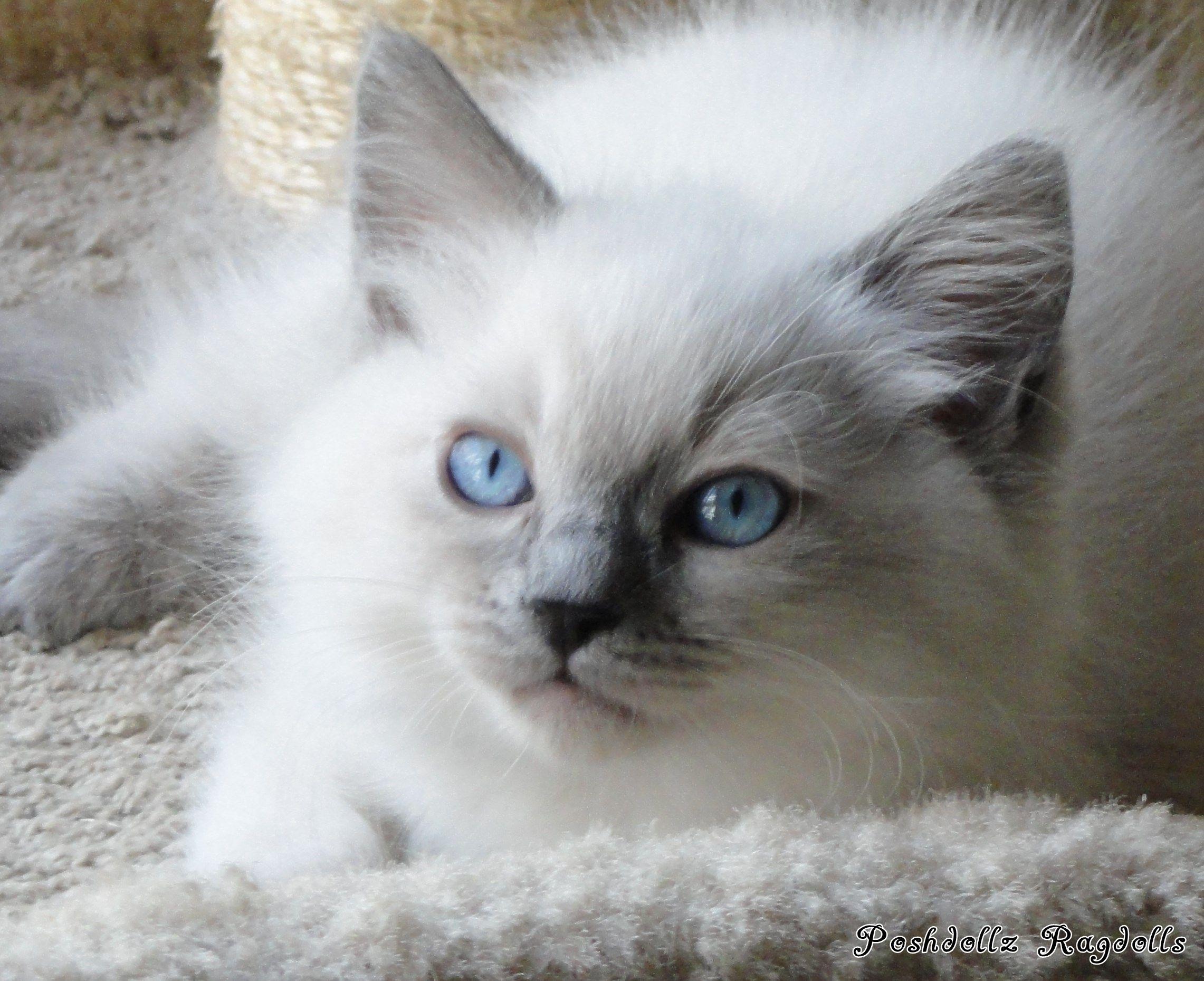 Blue Colorpoint Ragdoll Kitten POSHDOLLZ RAGDOLLS