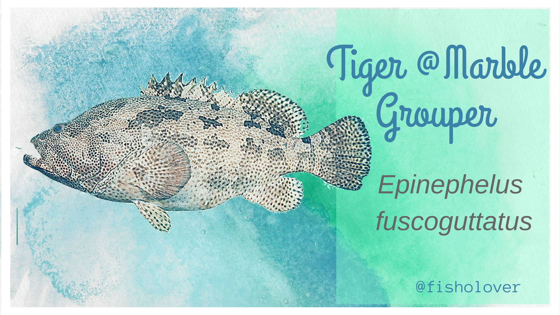 Tiger Grouper Also Marketed As Brown Marbled Grouper Or Epinephelus Fuscoguttatus Shared The Same Common Name With Mycteroperca Grouper Species Southeast Asia