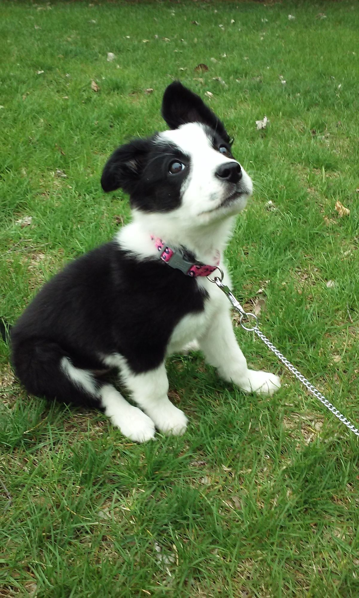 Pin by barbara rathmanner on border collie puppies pinterest my new border collie 10 weeks nvjuhfo Choice Image