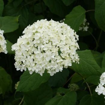 foto de Recette de jardin #1 Annabelle un bel hydrangea blanc qui
