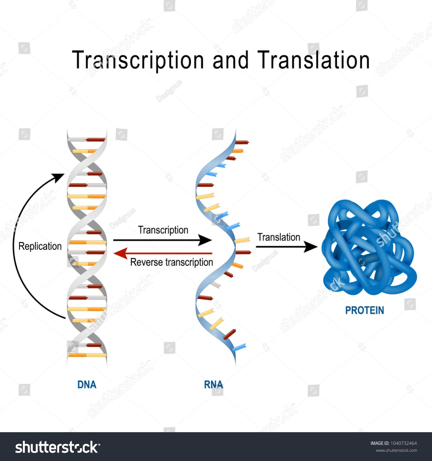 Dna Replication Protein Synthesis Transcription And