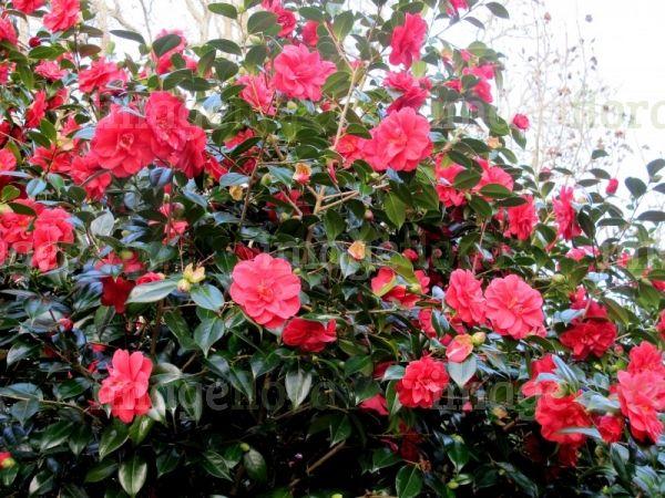 Image of camellia japonica mercury rosy red large double - Camelia planta ...