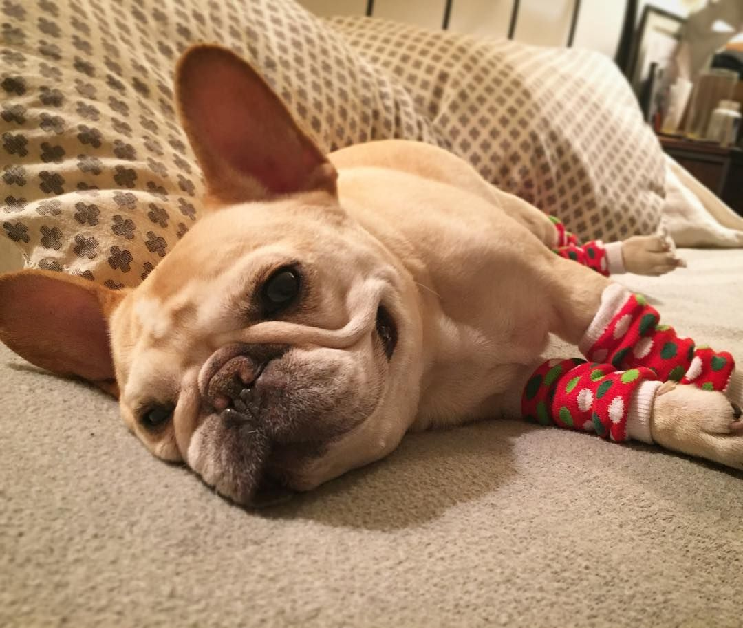 Let S Blast The A C And Go Back To Bed Walter The French Bulldog