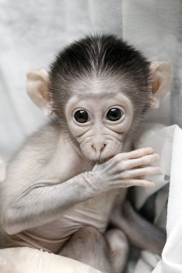 This Baby Monkey Is Very Shy   Cute baby monkey, Baby ...