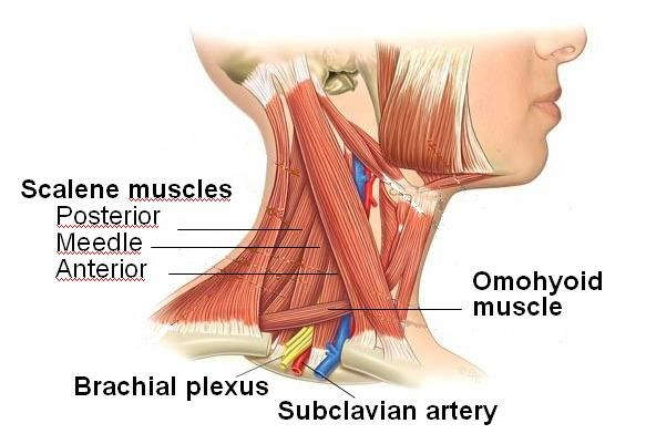 Scalene Muscles Anatomical Charts Pinterest Muscle Pain