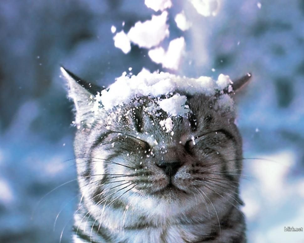 Funny Snow Cat Computer Desktop Background Wallpaper For Pc Tablet And Mobile Download Cats Animals Kittens Cutest