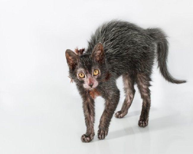 Lykoi Cat Craigslist Lykoi Cat Werewolf Cat Creepy Cat