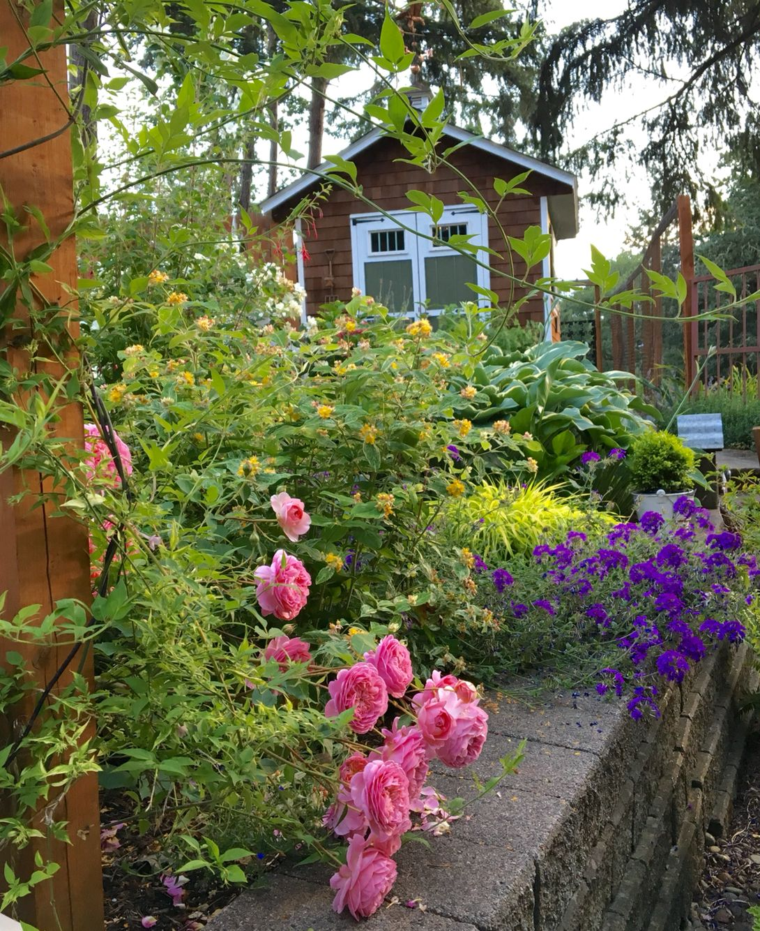 David Austin\'s Boscobel roses are stealing the show in the cottage ...