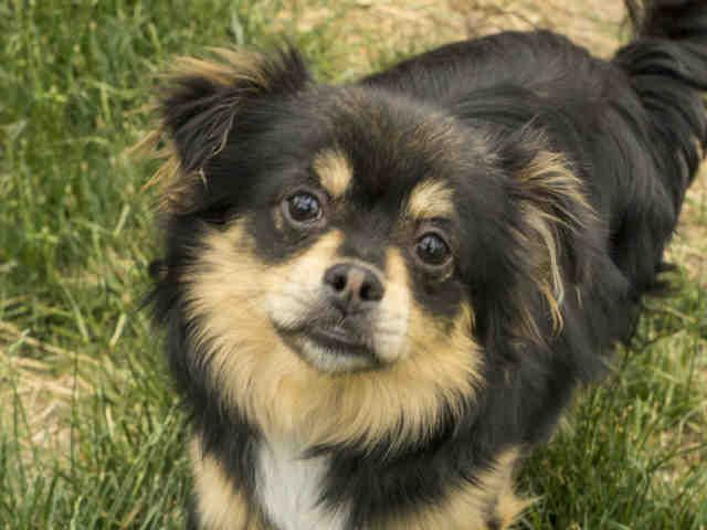 I Am A Male Black And Tan Chihuahua Long Haired Mix The