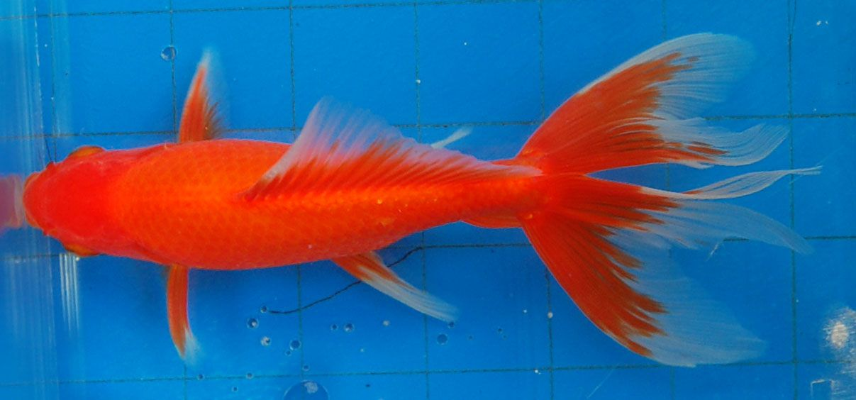 Goldfish - rich color and nice tail on this Watonai