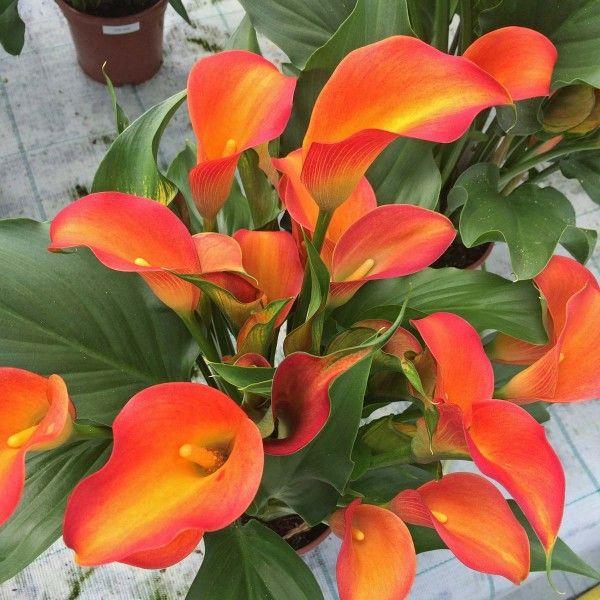 zantedeschia 39 orania 39 eine feurig orangefarbene zantedeschia f r den topf pflanzzeit ist im. Black Bedroom Furniture Sets. Home Design Ideas