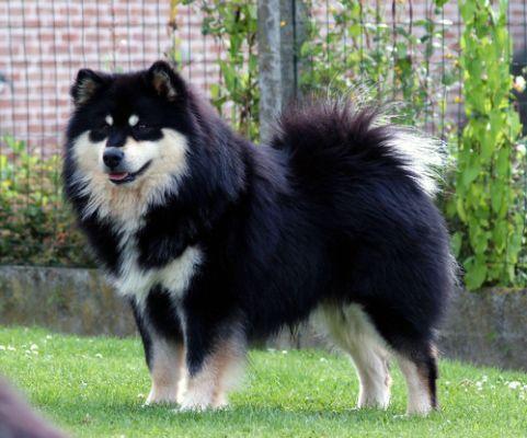 Chiens Chien Finnois De Laponie Akc Dog Breeds Dog