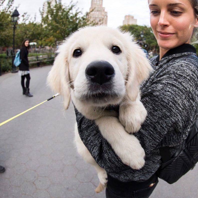 Boopable Snoots Dog Heaven Dogs Golden Retriever Retriever Puppy