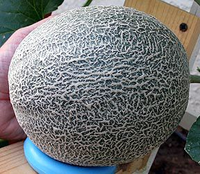 Wayne Schmidt S Extreme Melon Growing Page Growing Melons Veggie Garden Growing Food Known as the beauty fruit, a cup of cantaloupe delivers 100% of the daily rv of vitamins a & c. wayne schmidt s extreme melon growing