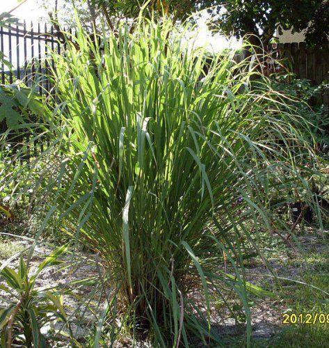 Lemongr Rootstalks 3 Live Plants Cymbopogon Citratus Artvine Nursery