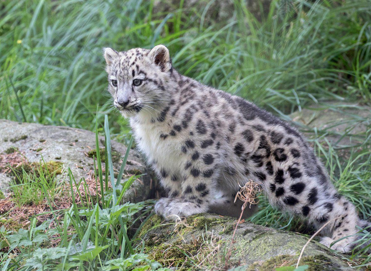 Sweet Baby Snow Leopard
