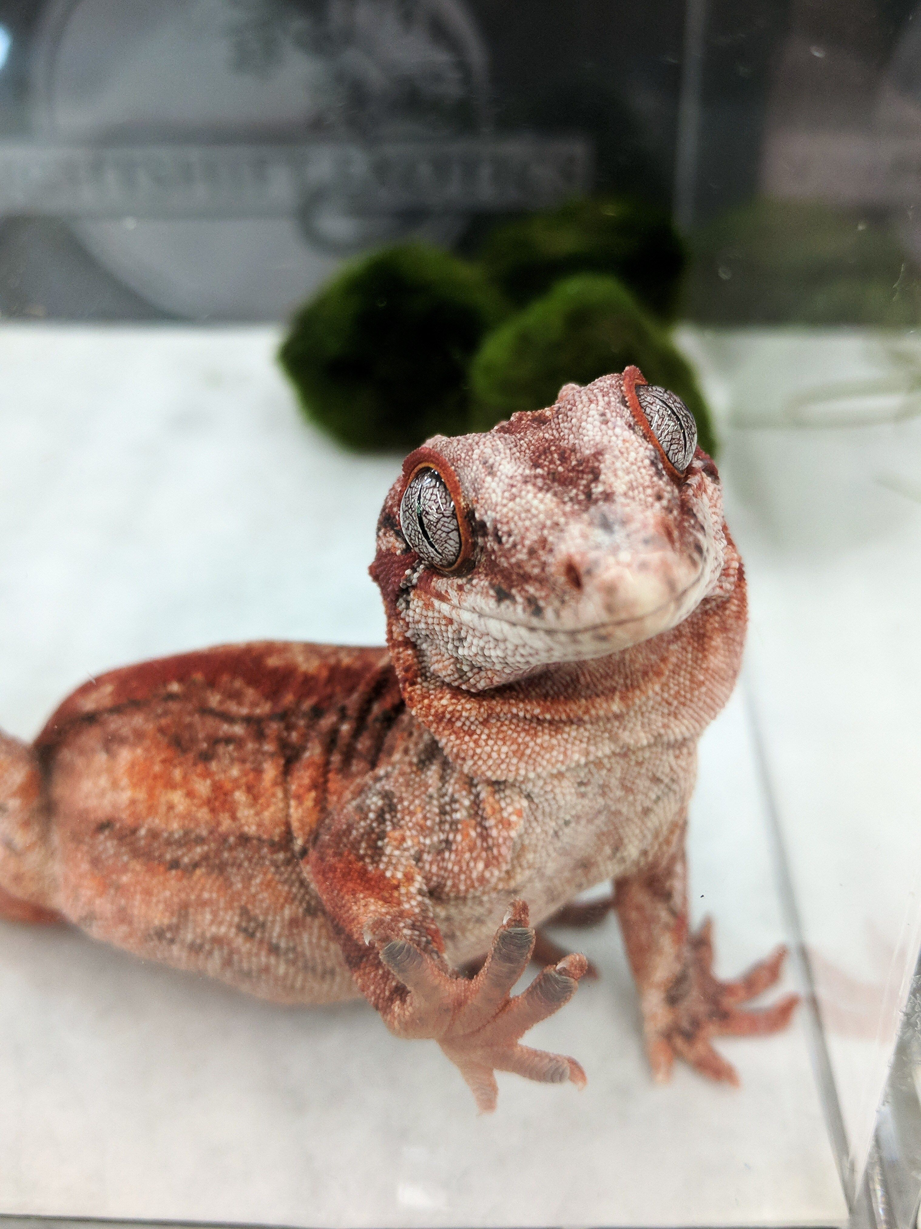Red Gargoyle Gecko By Nightshift Exotics The Wasatch