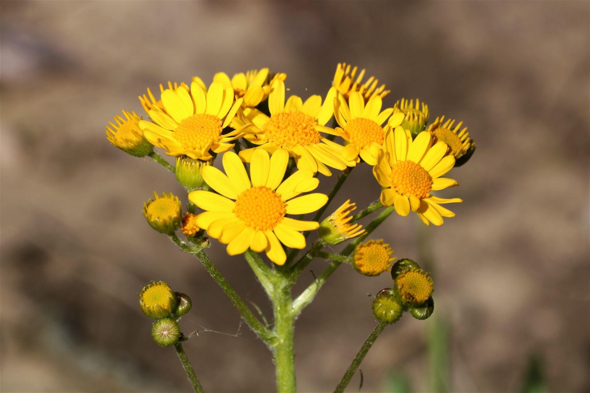 название желтых полевых цветов с картинками лирой вдвоем