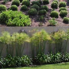 Papyrus on Pinterest | Plants, Plant Care and Umbrellas