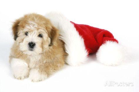 Teddy Bear Dog with Christmas Hat Valokuvavedos AllPosters.fi-sivustossa