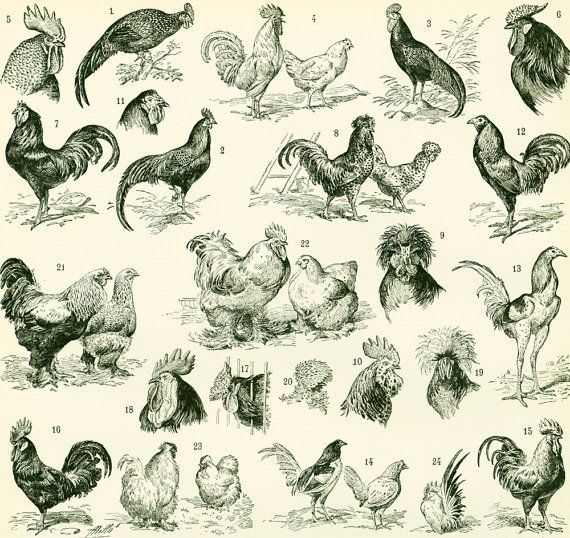 1897 antique chicken breeds print original larousse dictionary french vintage 115 years old. Black Bedroom Furniture Sets. Home Design Ideas