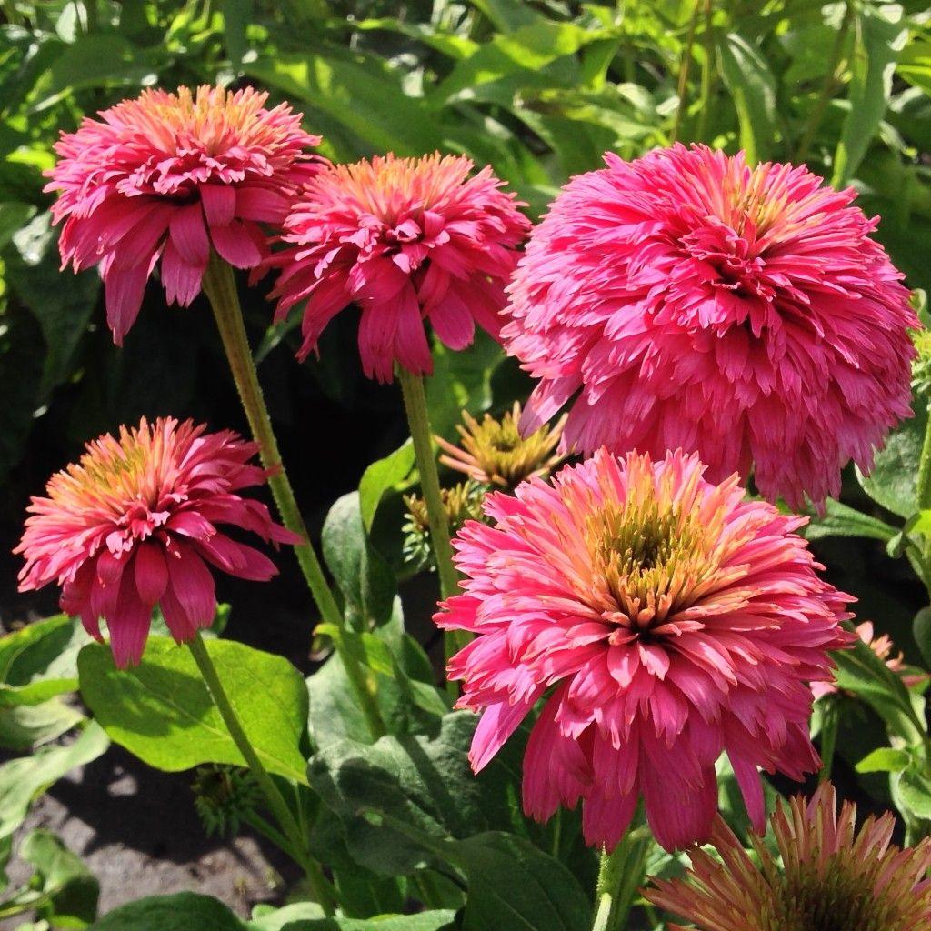Coneflower Pink Bonbon Echinacea X Hybrida Echinacea Flowers Perennials Plants