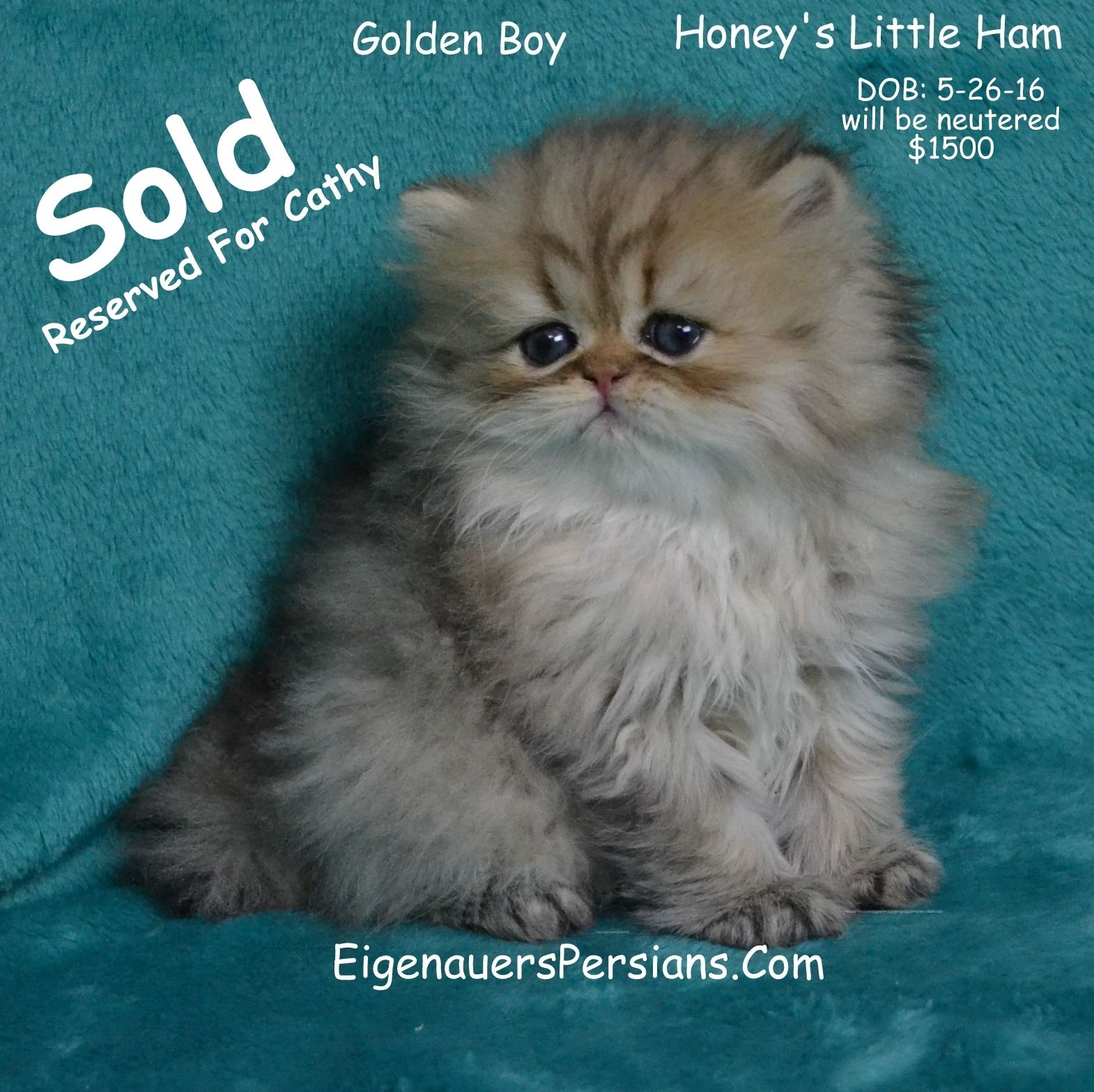 Persian Kittens For Sale San Francisco