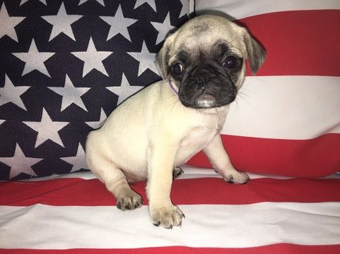 Litter Of 8 Pug Puppies For Sale In Lexington Park Md Adn 44995