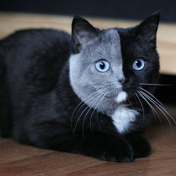 "Adorable Kitten Born With a Rare ""Two Face"" Has Grown Into a Striking Cat"
