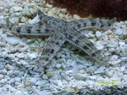 Sand Sifting Starfish Marine Invert Fish Safe With Coral Frags Lps Sps Saltwater Tank Deep Sea Creatures Salt Water Fish