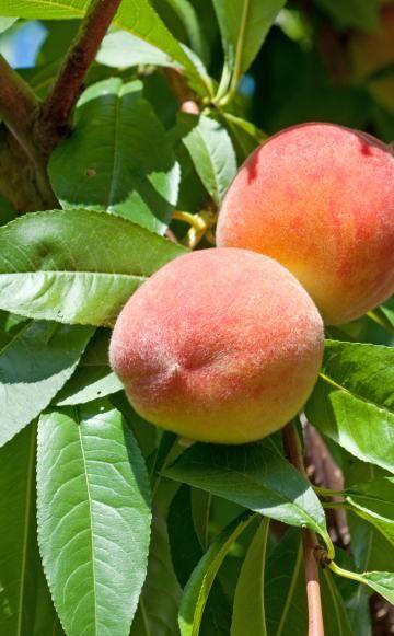 pfirsich pfirsichbaum gesund pinterest pfirsichbaum garten und pflanzen. Black Bedroom Furniture Sets. Home Design Ideas